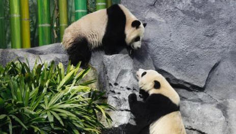 Two giant pandas enjoy a farewell party before their return to China