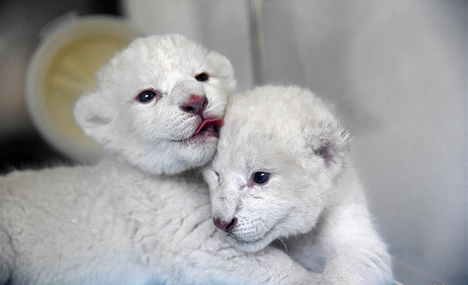 Twin white lion cubs born at Wild World Jinan