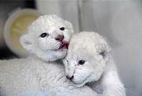 Twin white lion cubs born at Wild World Jinan, Shandong