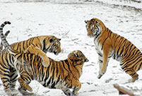 Siberian tigers play in snow in NE China