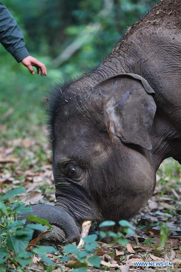 Conservation of Asian elephants in SW China's Yunnan
