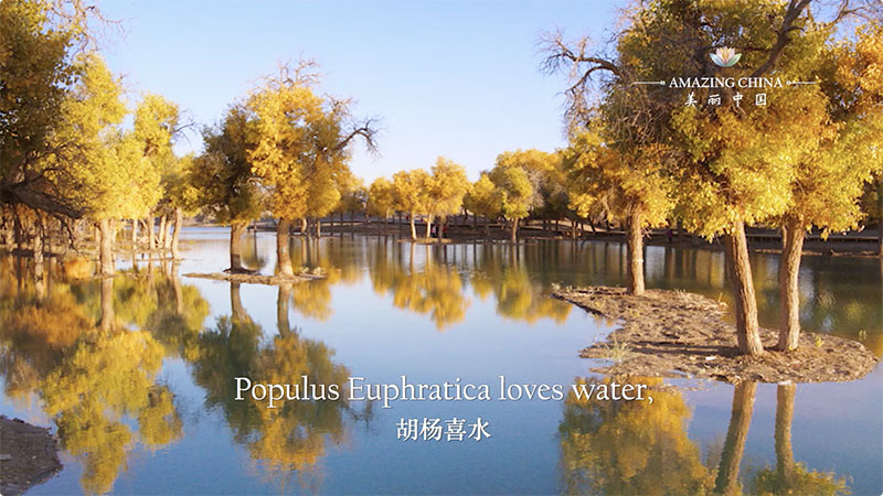 Amazing China: The Guardian of the Desert-Populus Euphratica