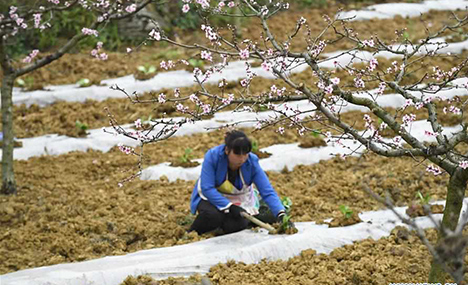 Villagers in Guizhou busy with farm work as weather gets warmer