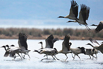 Black-necked cranes seen in Caohai National Nature Reserve