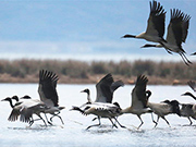 Black-necked cranes seen in Caohai National Nature Reserve in Guizhou
