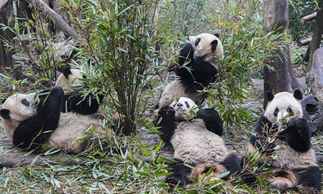 China's panda base reopens as epidemic brought under control