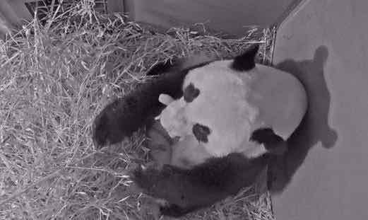 Chinese, Dutch leaders exchange congratulations on birth of panda cub