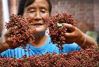 Chinese prickly ash planting encouraged in Weinan City, NW China to help farmers raise income
