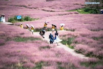 Tourists enjoy muhlenbergia capillaris