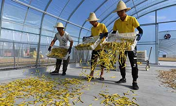 Daylily industry alleviates poverty in Yunzhou, N China's Shanxi