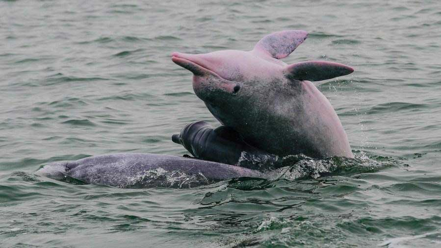 Endangered Chinese white dolphins living in south China