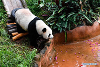 In pics: Giant pandas at Hainan Tropical Wildlife Park and Botanical Garden