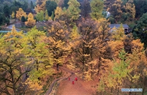 Tourists view ginkgo trees in Hunan