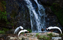 In pics: silver pheasants in front of waterfall