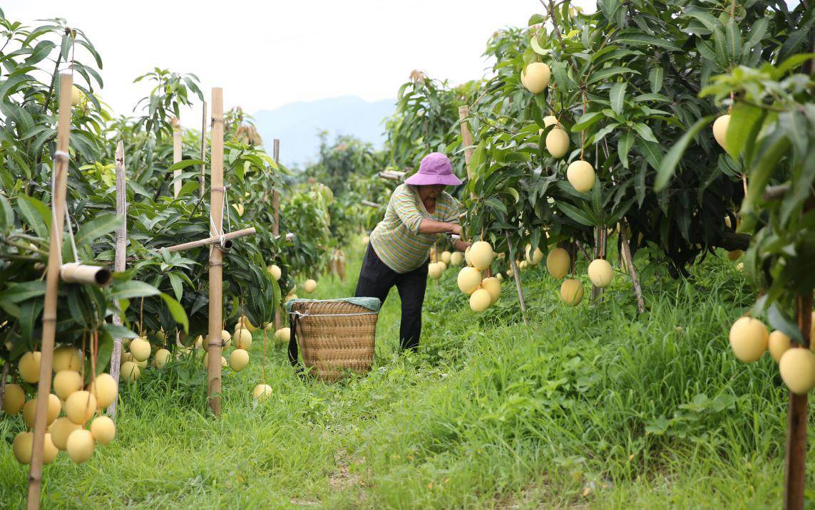 Village in SW China's Yunnan shakes off poverty by boosting development of mango industry