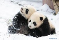 Giant pandas play after snow in Wolong National Nature Reserve