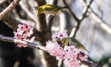 White-eye birds at garden near Xuanwu Lake in Nanjing