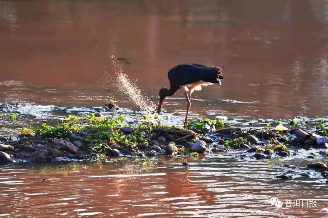 """the National Treasure among Birds"" Black Stork Appeared in Jingdong of Pu'er"
