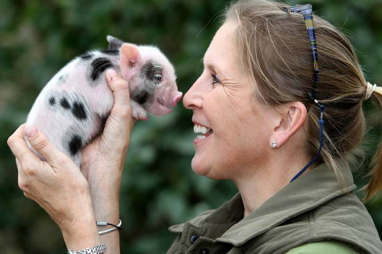 how to become a pig breeder
