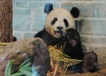 Wang Wang and Funi released to new enclosure in Australia