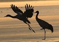 Black-necked cranes enjoy winter in Lhasa