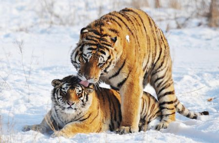 Siberian tigers prosper in Heilongjiang's breeding center