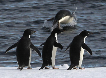 Penguins 'line up' for diving show