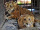 Rare tiger-lion cubs survive in S China
