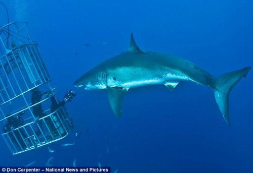 Great White shark gets a little too close for comfort