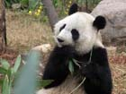 Returned Panda's happy life