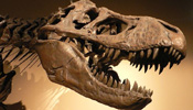 First tyrannosaur rex bone discovered in southern hemisphere