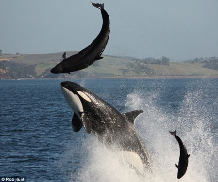 Brutal side of nature: killer whale attacks dolphin
