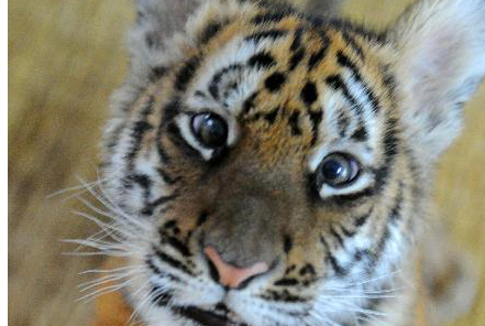 Second tiger cub at South China Tiger Breeding Base survives