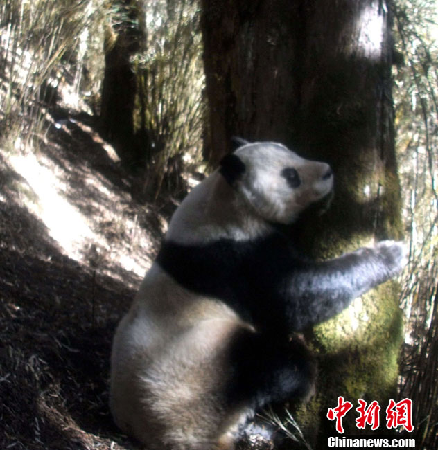 Wild giant pandas spotted again in Mian'ning, Sichuan