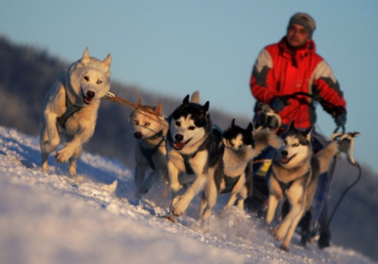 Run, sled dogs run!