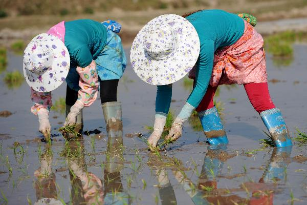 Rice transplanting in China's Yunnan