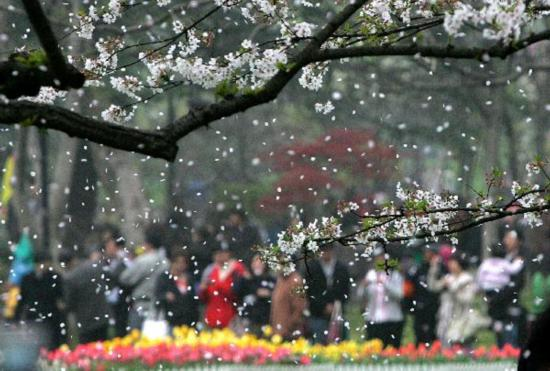Vistors enjoy cherry blossoms in Taiziwan Park, Hangzhou
