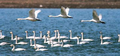 Ulanqab sees seasonal swarm of swans