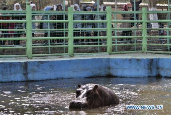 Funny hippo enjoys leisure life at zoo in West Bank