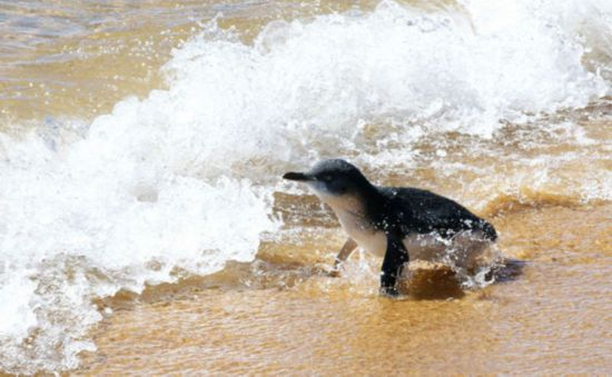 Save little penguins!