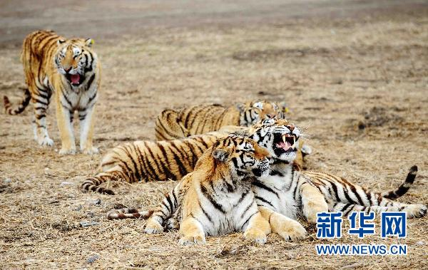 Number of Siberian tigers exceeds 1,000 in Harbin