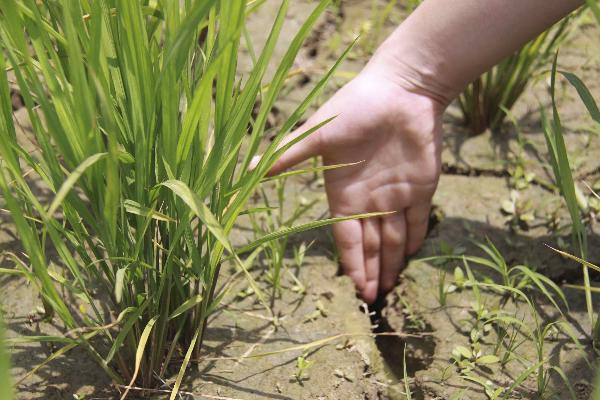 Jiangxi hit by drought affecting rice output