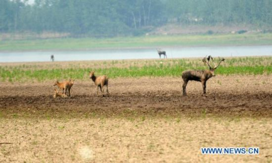 Lingering drought affects 400 milu deer in Hubei Province