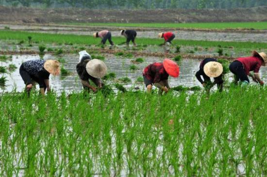 South China provinces complete early-rice planting amid lingering drought