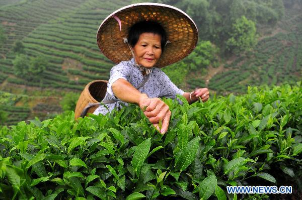 Farmers busy picking up summer tea leaves