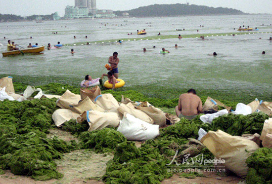 Qingdao beach invaded by sea grass overgrowth