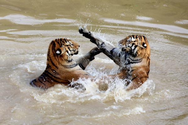 Tigers play in water in Huangshan Mountain