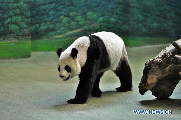 Female panda proved not to be pregnant yet in Taipei