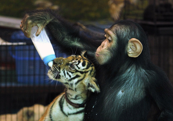 Chimpanzee feeds milk to tiger cub