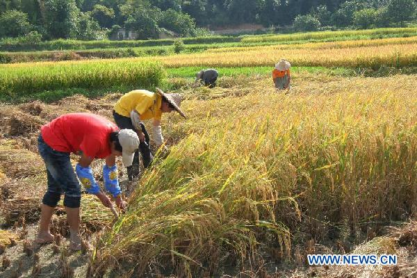 Farmers harvest rice in Guangxi, SW China